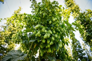 Hats off to British hops