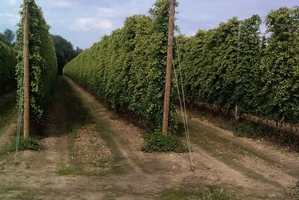 Marston's boost for ancient Kent hop farm
